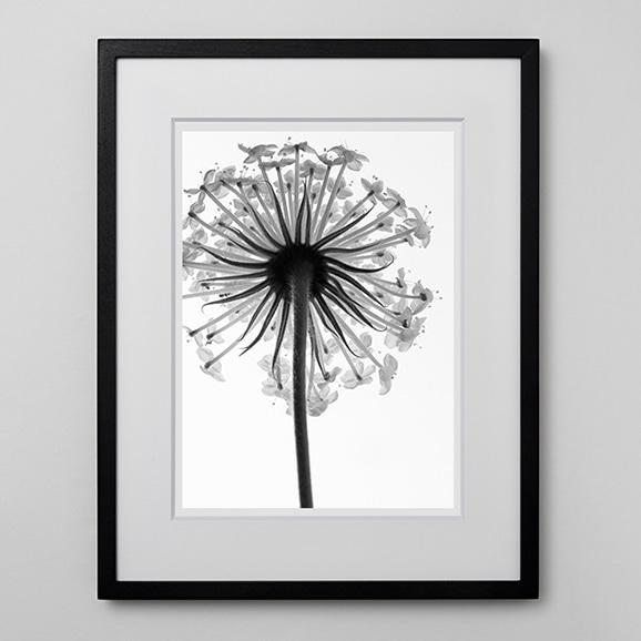 【写真】林 雅之 「BW Flower001 Trachymene  caerulea」