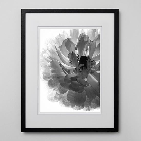 【写真】林 雅之 「BW Flower003 Ranunculus asiatics」