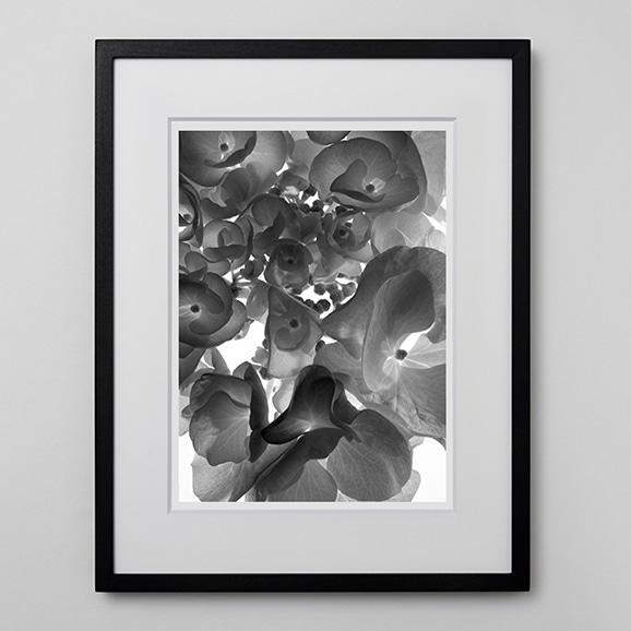 【写真】林 雅之 「BW Flower006 Hydrangea macrophylia」