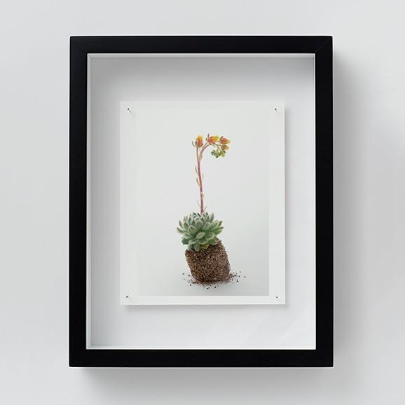 【写真】林 雅之 「NT09 Echeveria 'setosa'」
