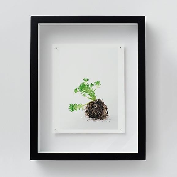 【写真】林 雅之 「NT10 Sedum winkrelii」