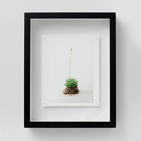 【写真】林 雅之 「NT11 Haworthia ruteolosa」