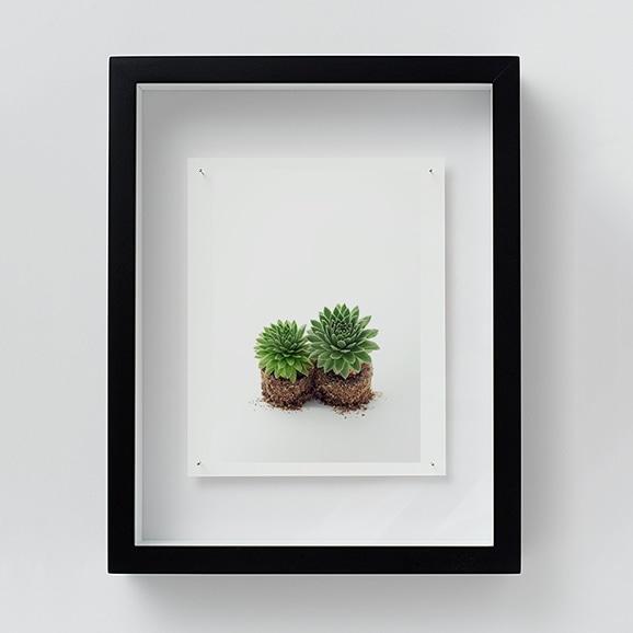 【写真】林 雅之 「NT13 Sempervivum 'Gloriosum'」