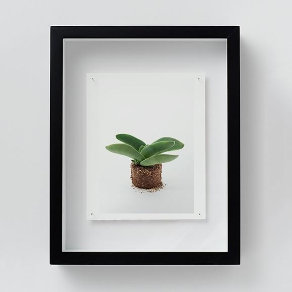 【写真】林 雅之 「NT19 Crassula perfoliata var.falcata」