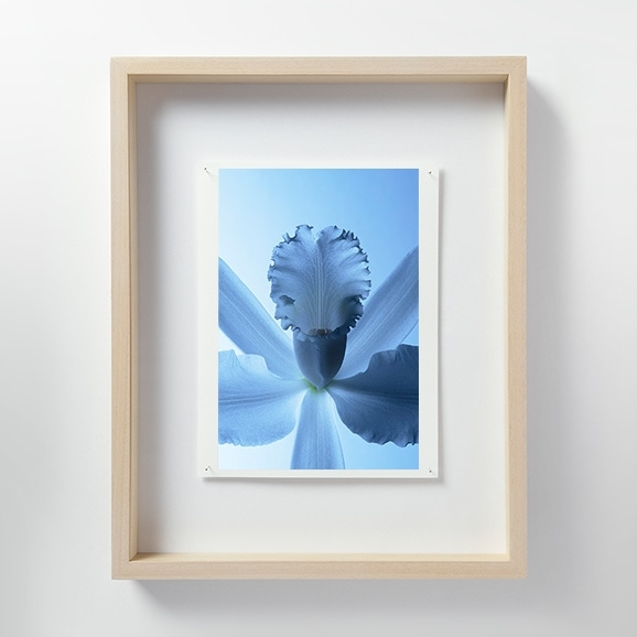 【写真】林 雅之 「LF010 Cattleya カトレア」