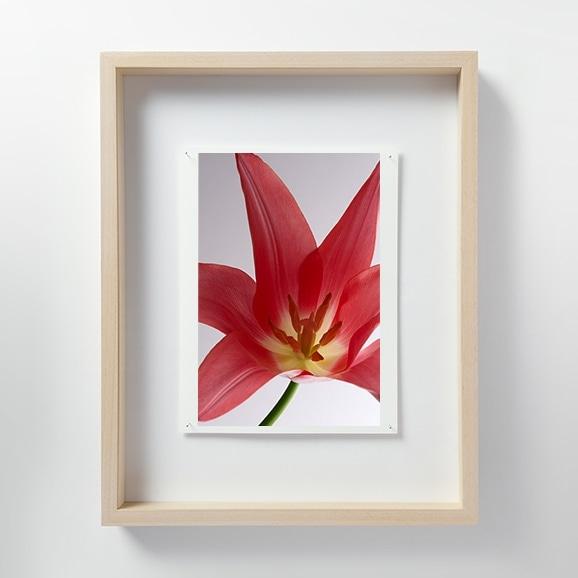 【写真】林 雅之 「LF011 Tulipa チューリップ」