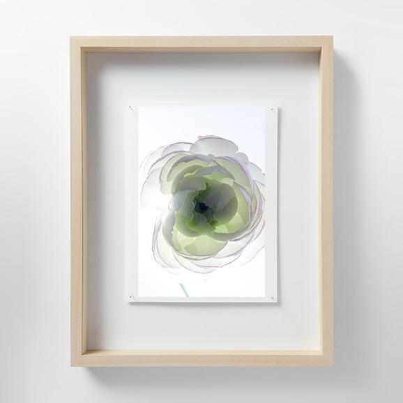 【写真】林 雅之 「LF019 Ranunculus ラナンキュラス」