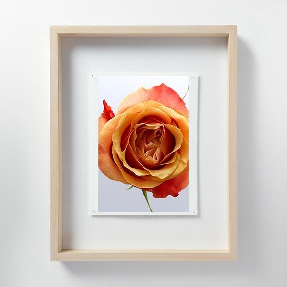 【写真】林 雅之 「LF041 Rose バラ」