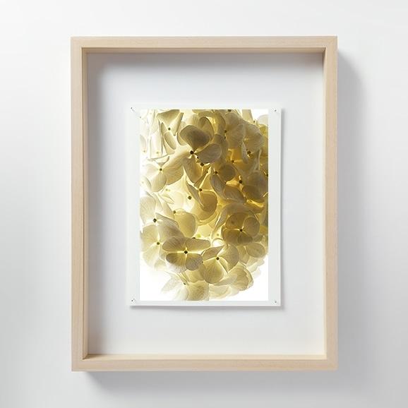 【写真】林 雅之 「LF051 Hydrangea アジサイ」