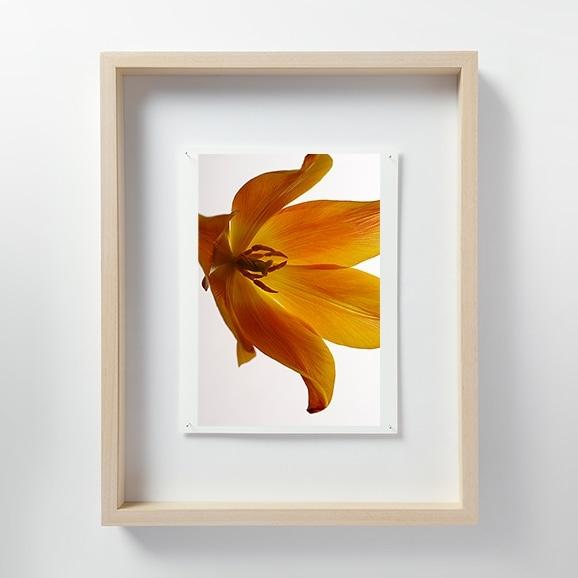 【写真】林 雅之 「LF054 Tulipa チューリップ」