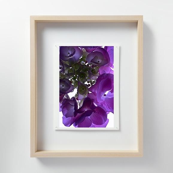 【写真】林 雅之 「LF056 Hydrangea アジサイ」