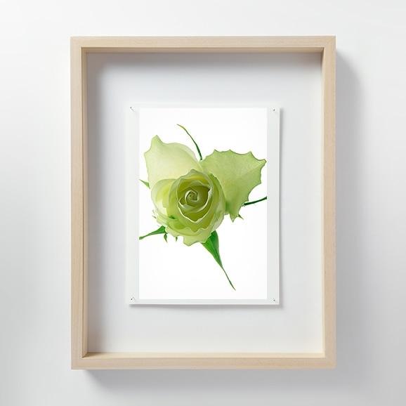 【写真】林 雅之 「LF058 Rose バラ」