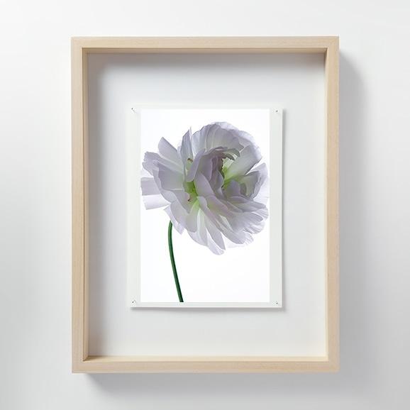 【写真】林 雅之 「LF061 Ranunculus ラナンキュラス」