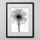 林 雅之 「BW Flower001 Trachymene  caerulea」