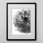 林 雅之 「BW Flower003 Ranunculus asiatics」