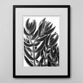 林 雅之 「BW Taniku006 Crassula mesembrian brianthoides」