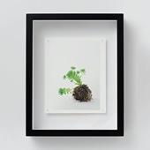 林 雅之 「NT10 Sedum winkrelii」