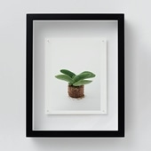 林 雅之 「NT19 Crassula perfoliata var.falcata」